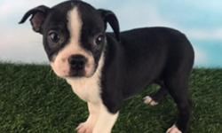 This dazzling black and white Boston Terrier is Eva and she' is ACA registered. She is very playful and affectionate. She was born June 1, 2016. She will come with shots and worming up to date. They asking price $899.00 for her. Do you think she will make