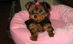 Healthy male and female teacup yorkies.current on shots very sweet, loves kids, gets along well with cats and other dogs. they will make a great family dog.Call or text (248) 716-1990 for more info and pics