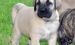 Gorgeous mastiff puppies They r 9 weeks old, ready to go now Mom is 150 1/2 pounds, dad is 233 These r the biggest, best quality pups u will find in the city I'll be taking emails to get interested people's # I will START contacting people til NEXT WEEK