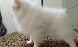 We have a little purebred White Pomeranian puppy girl.We called her Cherry. She is a gorgeous little girl; sweet and lovely. We love her very much for her sweet personality and her appearance.. She is White.Cherry could go to her new home now and