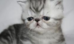 We have one black smoke exotic shorthair female kitten available. She was born on July 2nd and will be ready for her new home in mid-September. She will come with her first set of shots and registration paperwork from TICA and CFA. Please call or email us