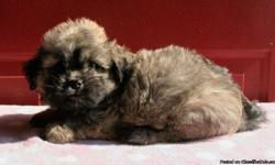 """Very Adorable and Fluffy Shih Tzu Puppies This brother and sister are just super sweet and adorable little pups.They both have the Shih Tzu""""Buddha Mask""""a prized characteristic in Shih Tzus.They are perfect healthy puppies who have had their first puppy"""