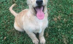 F1 Labradoodle puppies for sale. Males only, born on April 3rd, 2016. Puppies are up to date on all vaccinations and dewormings. They are golden in color. Mom is an AKC English Labrador yellow in color. She has championship