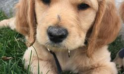 9 wks old. Vet checked with a great bill of health, dewormed, and shots done for her 8 wks mark. She is surrounded by my kids and their friends everyday so she is well socialized. Both parents are pure bred. Mom is Golden Retriever