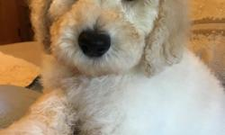 Male and Female F1b Goldendoodles born June 2nd,up to date on all shots, de-wormed, 2 yr. health guarantee. Great with kids and other animals. Non-shedding, hypo-allergenic. Will be about 45-50 lbs. full grown. Located in