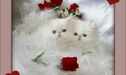 "Absolutely Gorgeous Show and Pet Quality Blue Eyed White Persians, Himalayans and Exotics. Pampered, Healthy, Loving kittens Available to approved homes. Please visit us at furrbcats.com ""FOR QUALITY THAT SHOWS"""