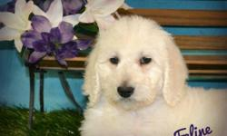 Do you think I'm a cutie? If so, then Hi, I'm faline! The cutest, most sweetest F1b Labradoodle ever! I was born on February 5th,2014! Many people like me for my pretty, soft cream fur, my gentle eyes, and amazing smile! People are the greatest! That's