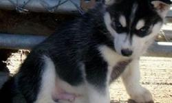 Currently we are offering 3 of our Siberian Husky puppies. They are be spayed, all have been microchiped, vaccinated and are very loving! Both parents are from excellent bloodlines. Parents have had their eyes tested, hips, patellas all tested and clear