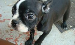 678-667-2322 one little cute Boston Terrier female left. She is registered and up to date on her vaccines and worming. She also come with a 1 year health warranty. She is in the process of being house trained and with be freshly groomed and ready for her