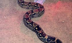 I have an 8 ft female boa. She is 6 years old and healthy. I am asking for $300