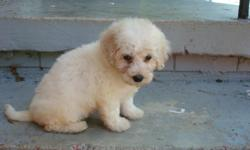 404-784-4175 White fluffy hypoallergenic REGISTERED Bichon Frise puppies. They are up to date on their vaccines and worming and come with a 1 year written (money back) health warranty. They are being house trained and love to play. They will be freshly