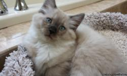 Mink Female - a big chirper, she chirps more than meows. She is very playful and well socialized. She was born on August 3rd and is ready for a good home. She has all her shots and vaccinations. She has veterinary clearance that she is in excellent