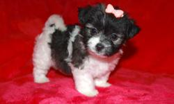 Hi my name is Effie! I am the cutest, and toughest female in my litter. I am very independant and can entertain myself, but love to cuddling on laps. I do extremely well relieving myself on training pads. I am great with kids and other dogs. I will be a