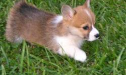 Sevits Corgis strives to produce top quality AKC registered Pembroke Welsh Corgi puppies---suitable for show, agility, herding or pet lifestyles. Our dogs are raised as members of our family--leading normal, on the farm lives. They are not kennel dogs!