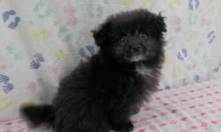 She is a very sweet and lovable Pom-a-Poo puppy!  (Pomeranian/Poodle)  She was born 1-1-15 and is current on shots and dewormings.  She is so adorable and will make a sweet addition!  $450, cash  If interested please call