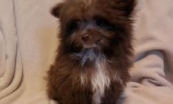 She is a very small, sweet, and lovable Pom-a-Poo puppy!  (Pomeranian/Poodle)  She was born 1-1-15 and is current on shots and dewormings.  She is such a cutie and will make such a sweet addition!  Must see!  $600, cash  If