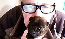 pug puppies very cute they were born onmarch/17/2015 cash only please call 719-593-2030 SERIOUS INQUIRIES PLEASE will be ready for sale on may/19/2015 thank you,