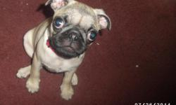 This is Libby. She is one special pug puppy for sale. If you like a playful puppy that will slow down and give you lots of kisses and let you rub her belly. Libby is it for $800. Her B,day is 4/25/14 and comes with a health guarantee. She lives in