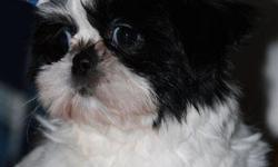 13 week old Shih-Tzu female pup, black and white, and full of kisses and love. Playful, socialable! You may see her on http://www.littledreamranch.com Call Marcy or Glen @ 603/863-7498