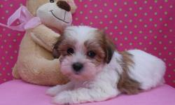 Beautiful Shih Tzus 2 females. They will be ready for a new home on the 28th of July. Born 05/28/2014. ACA Registration I aslo will provide a health guarantee and a gift bag with toys, and food to get you started. They are already so silly and fun.