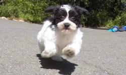 """""""Carrie"""" is the cutest female Teddy Bear puppy! Her adorable personality will melt your heart! * Maltese x Shih-Tzu * 10 weeks old and ready to go home! * Current on Shots and Deworming * Vet Checked and Cleared * Clean Bill of Health * 8-11 lbs Full"""