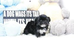 name: Carina (Teacup Morkie) - Female DOB: 05/23/2016 estimated size: 4-4.5 pounds on shots and deworming please call for more info 213-999-6275 www.acepuppy.com Shipping Available anywhere within the States!