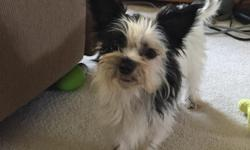 She is a very small, sweet, and cute Yorkie-Zu puppy.  (Yorkie/Shih-Tzu)  She was born 11-17-15 and is current on shots and dewormings.  She loves to run and play with other dogs.  She alos loves to cuddle.  She is great with kids