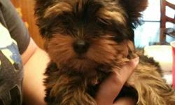 Female Yorkie 2-4 pounds home raised had its shots 1000.00