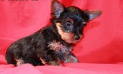 Female yorkie that is looking for her furever home. She is precious. Will be 10 weeks old May 5th and ready for her forever home. Will not go before the 10 weeks. A deposit will hold her for YOU until then.