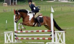 Don?t let her size fool you! This mare loves to jump and is brave, scopey, and careful. In the fall of 2012 Kate competed in eventing derbies at beginner novice level and jumper schooling shows up to 3?. Has been schooled up to 3?9? and has no problems