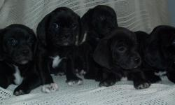 Our Puggles are ready for their forever home. 3 females/400/each 2 males/350/each Up to date on shots and wormed. Please call 218-731-1910 or 218-756-3541 willing to drive to meet you within MN