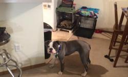 Rare Blue Color, update on all shots, Microchipped, he eats Iams dog food,has been through a puppy training class,