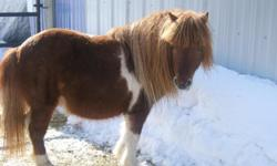 FOR SALE 3 miniaturehorses ,,,registered minature mare, -been with stud ,, 9monthold paint colt , out of mare and stud shown did not