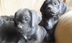 Puggles.... Up to date w/ their shots and wormed. 9 weeks old Calm, loving, handled by kids... and ready for their new home. Please call 218-731-1910 or 218-756-3541 We are in central mn...willing to travel to meet you halfway, if you are coming out of