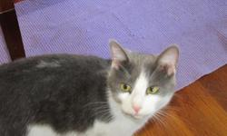 Gray & white short-hair male cat found in East Pensacola Heights.