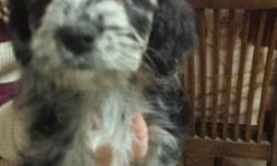 Hello, I am selling four mixed Australian Shepherd/Shnauzer puppies for $100each! I have 3 males and 1 female. Attached are pictures of the puppies I'm selling. The puppy in the first picture is the female one. They are really cute and