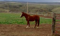 my name is Hazel, I am 6 years old and very gentle and friendly. I'm a little on the small size. But love to go for trial rides in the mountains, I will load easy in the horse trailer, I'm in good health and have good feet. i will make a good partner for