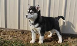 Have you ever wanted someone that would cuddle with you all day long? Well then I'd be the perfect little guy for you! Hi, my names Frankie the male ACA Husky! I was born on January 14th, 2015. There asking $499.00 for me and if you take me home with you