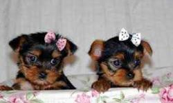 Our puppies are very sweet and have a very good temperament around kids and other animals. They are playful and will keep the home clean by not squatting on the chairs. They do not shed hairs and they do not bite thing in the house. They have their AKC