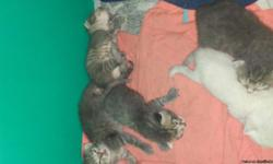 My female Cat Storm (1yr) gave birth to her very first litter (5 kittens)7/1/2016! 7/16/2016 they will be 3 weeks old and 1 week away from being seperated from Mom (Storm). If someone out there is interested in adopting a kitten please feel free to