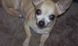 Older female light brown Chihuahua short coat needs a good home. Her name is Bella. She is very quiet and very friendly. She is missing her teeth except for her canines so she can only eat soft foods. I can no longer take care of her or keep her. Included