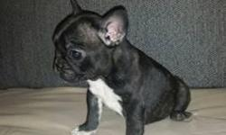 Beautiful French bulldog Fawn, MALE , Champion Bloodlines , Great conformation and character. Contact me for more info ENGLISH / Español. Born May 7th 2016 (12 weeks old) NO REHOMING FEE- NO LOW BALLING- NO ADOPTION- SELLING QUALITY PETS