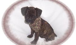 This baby boy is dazzling! He has a wonderful personality and loves to snuggle. He is a French Bulldog and Puggle mix. He is a great brindle color. He is micro chipped. He comes with his first series of shots, wormings and a Vet Health Certificate. He