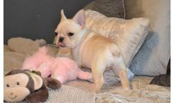 Our puppies are CKC registered Male and female French Bulldogs. Are up to date on vaccines and vet checks and comes with a 1 year Health Guarantee. Will weigh around 16-21lbs full grown and arePopular pups in our area. Are now 10 weeks old and the