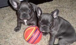 french bulldog puppies ready for a new home