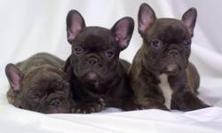 We have 4 of the sweetest,family and kid raised AKC French Bulldogpuppies ready to go to their forever homes, 2 chocolate brindles 1 boy and 1 girl, one reverse brindle boy, one almost all black female. Our dogs are part of our family and very