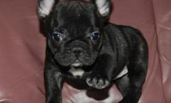 Healthy French Bulldog puppies 11 wks old.for more info and recent pics send a text only at (702) 550-2295 for any interested buyer