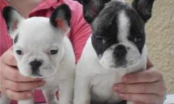 Male and female French bulldog puppies. They are 12 weeks old, vet checked, dewormed and have all vet records up to date. Our puppies are well trained and very socialized with kids and other pets. Puppies come with registration papers and a health