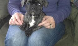 Beautiful light brindle male French Bulldog puppy. Puppy is 8 weeks old and has all of his shots & papers. Call Shannon at --.