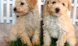 French Poodle Minitoys are 8 weeks old I have 2 males  will grow to about , are only dewormed are adorable, playful, affectionate, and well good. sell them at $250 -I live in Moreno valley ca 92553, for more information call or text